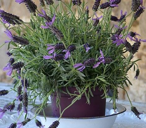 tuin-lavendel